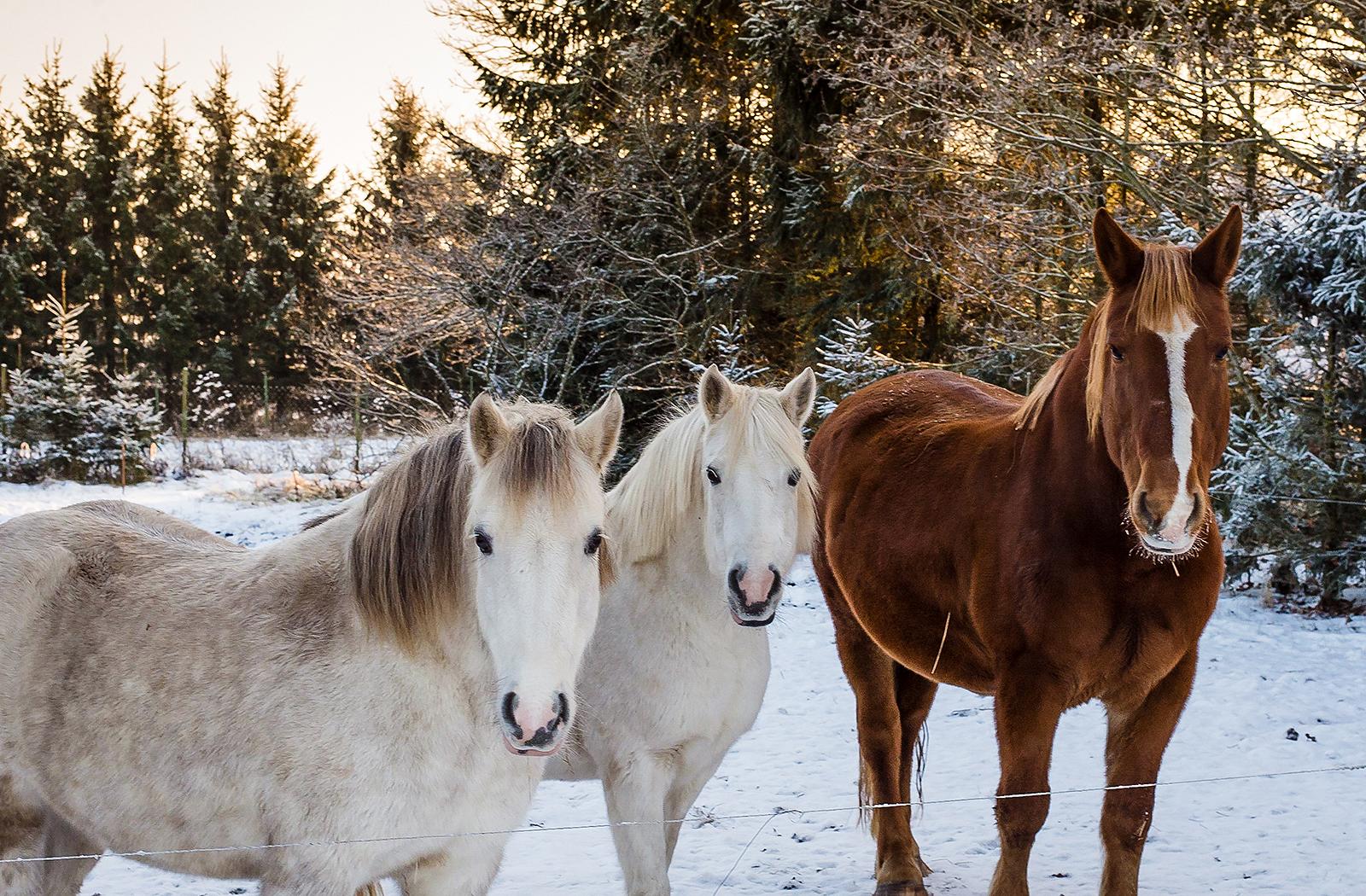 kelgukoerte turismitalu Huskypark hobused