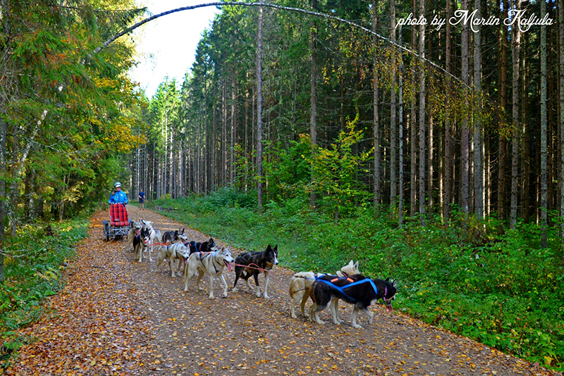 Hellerkantri siberi husky tiim treeningul Lõuna-Eestis
