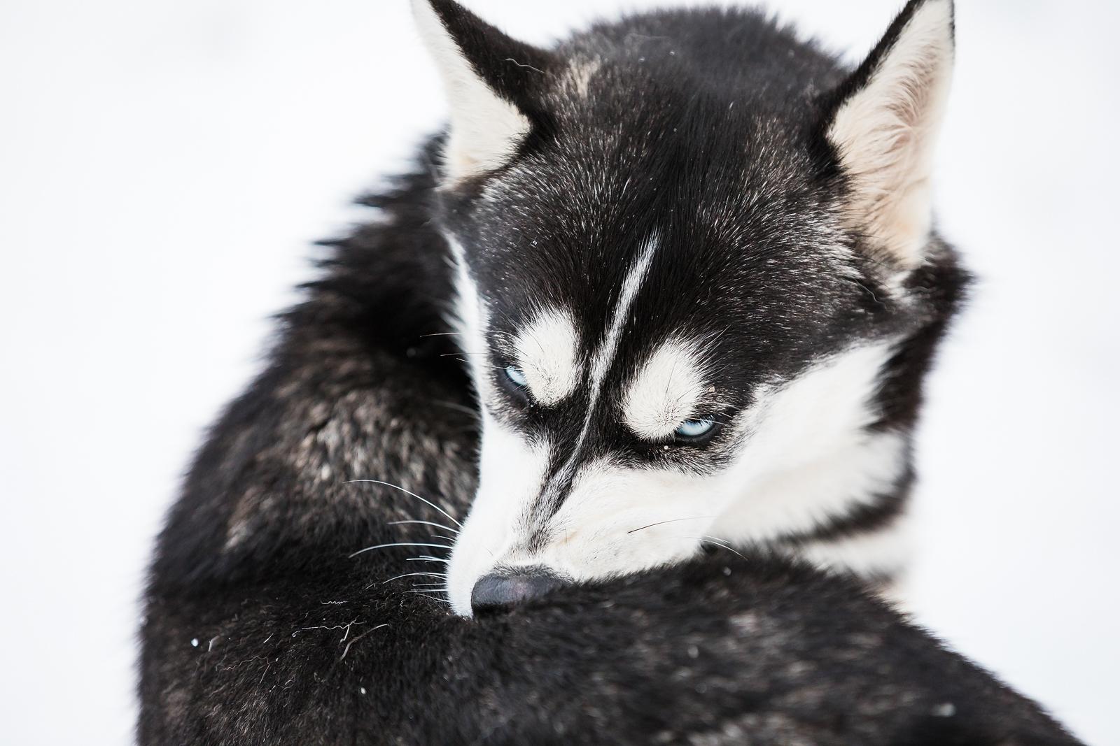 Kennel Hellerkantri siberi husky