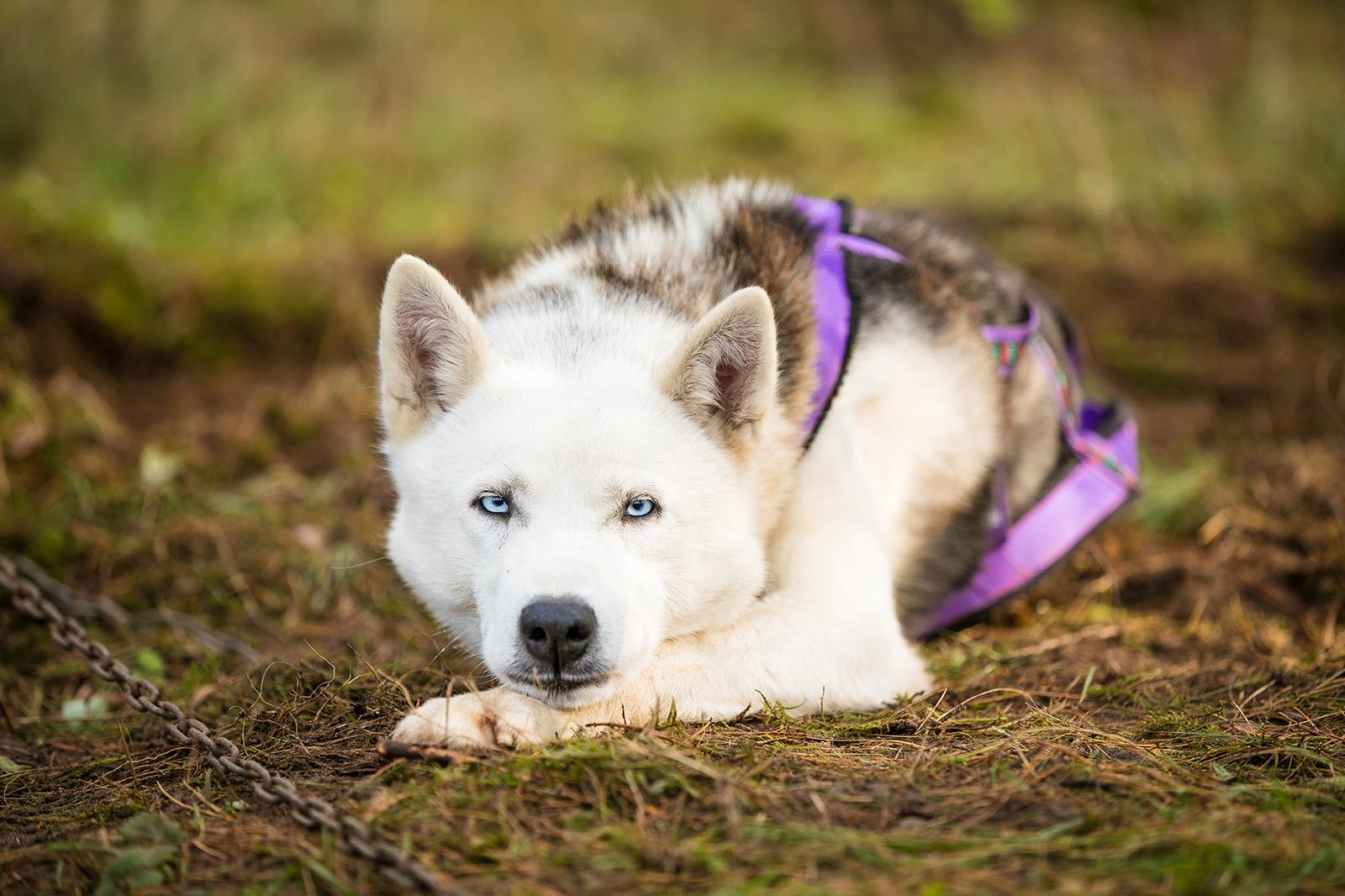 siberi husky