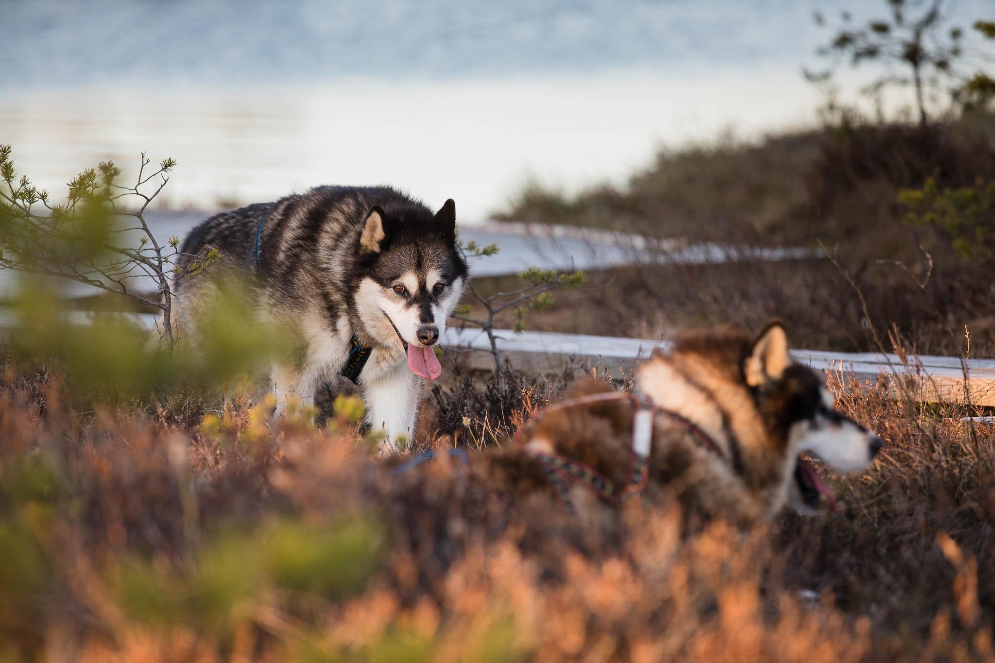 Hellerkantri Huskypark alaska malamuudid