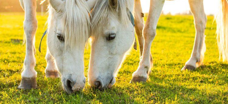 Kelgukoerte talu Huskypargi hobused Raplamaal