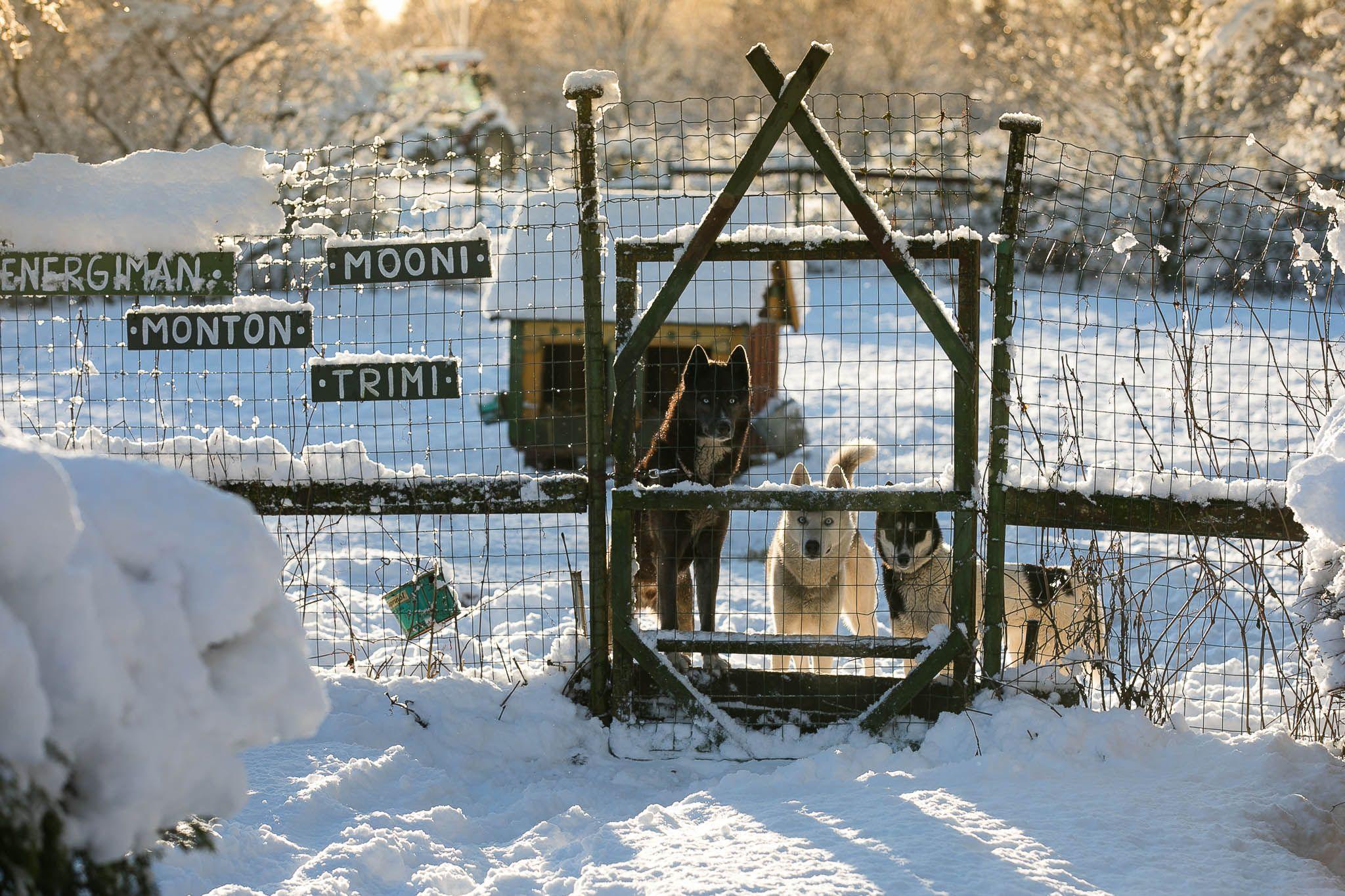 Hellerkantri Huskypargi kelgukoerte talu