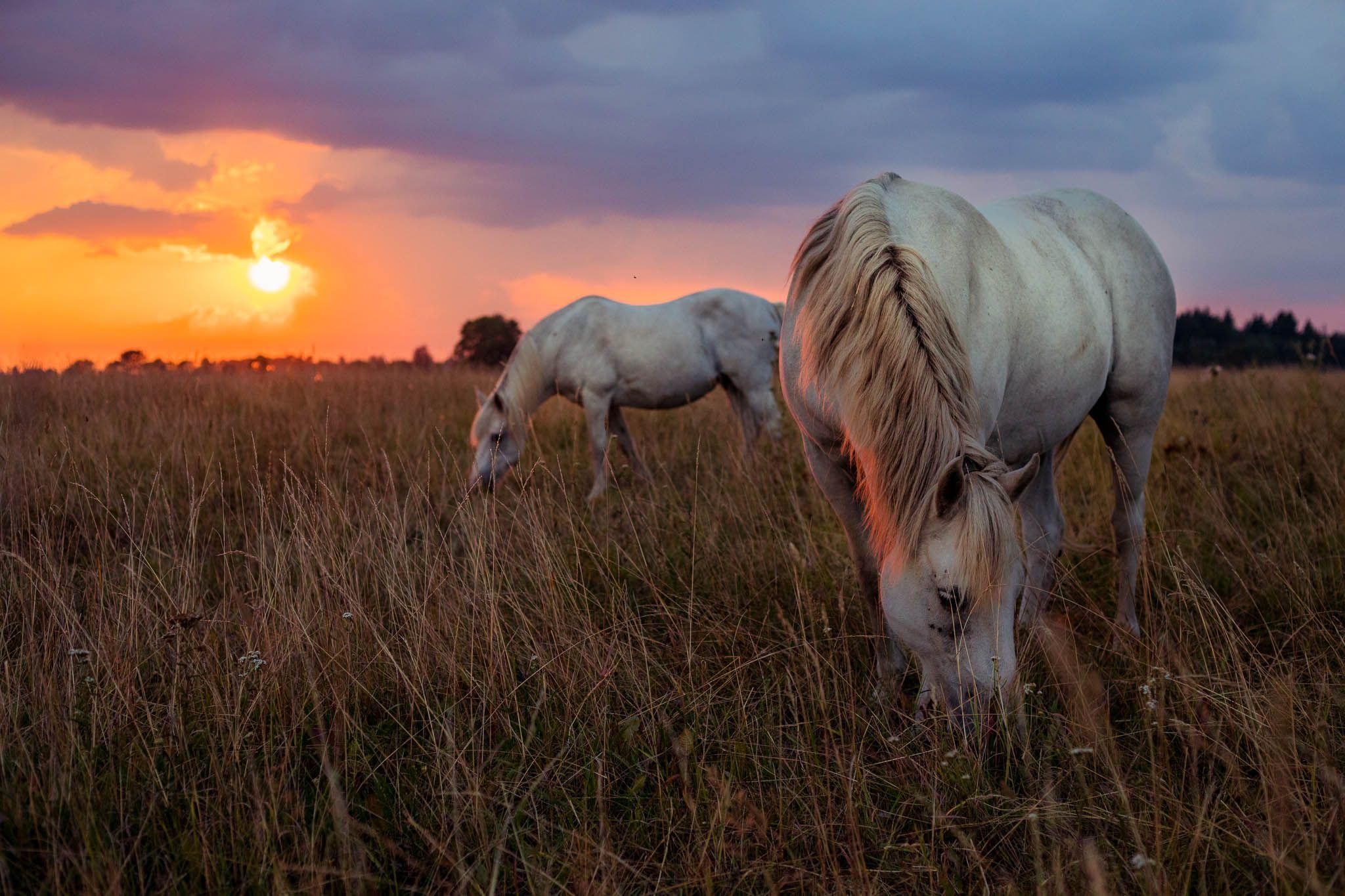 Hellerkantri Huskypargi kelgukoerte talu hobused Raplamaal